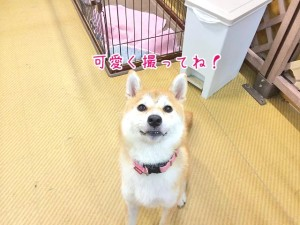 おすまし顔の柴犬