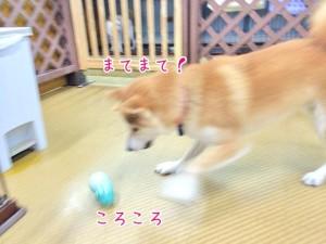 おもちゃを追いかける犬