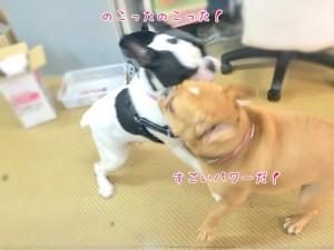 のこったのこったお相撲犬
