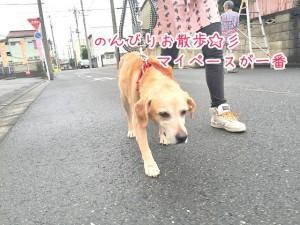のんびりお散歩する犬ちゃん