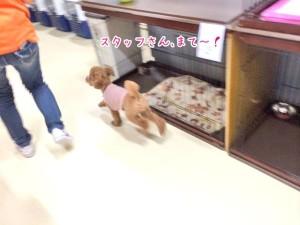 スタッフと走る犬ちゃん