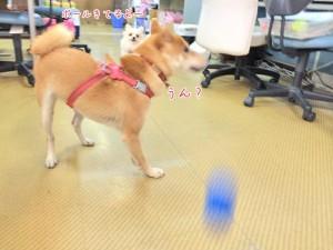 ボールに気がつかない犬ちゃん