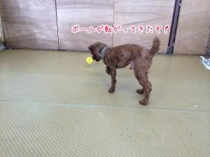 ボールを追う犬ちゃん