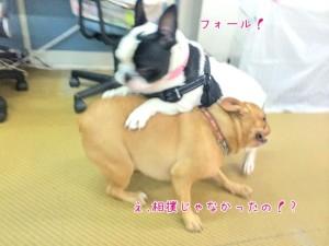 レスリング犬
