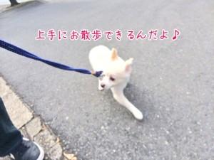 上手にお散歩犬ちゃん