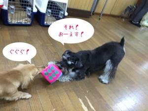 犬ちゃん同士の綱引き