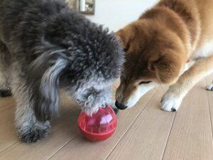ボールで遊ぶ犬達