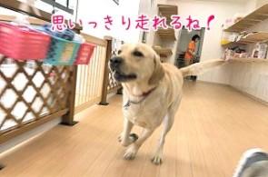 走るラブラドールの犬