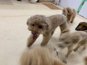 プレイエリアで犬ちゃん走る