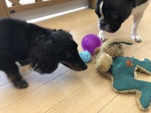 ペットホテルでおもちゃで遊ぶ犬ちゃん
