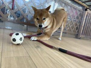 ボールで遊ぶ柴犬ちゃん