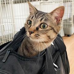 かばんに入る猫ちゃん。