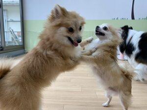 ペットホテルで犬ちゃんお相撲