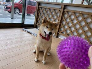 ボールに興味津々な犬ちゃん