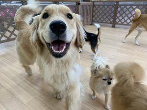 ゴールデンレトリバーの犬ちゃん
