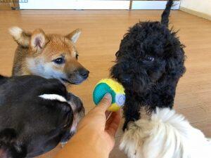ボールから目が離せない犬ちゃん達。