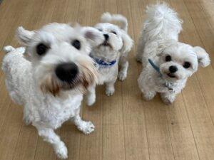白い犬ちゃんの集い