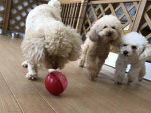 ボールで遊ぶ犬ちゃん