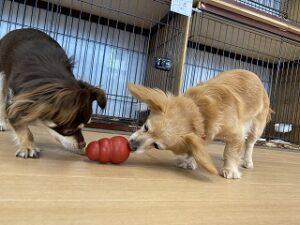 おもちゃで遊ぶ犬ちゃんたち