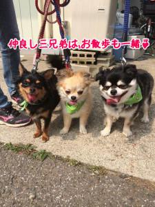 お散歩も三頭一緒