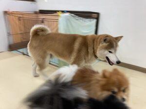 遊ぶ柴犬ちゃん