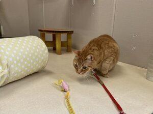猫ちゃんおもちゃで遊ぶ