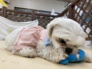 おもちゃで遊ぶ犬ちゃん