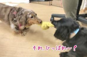 犬の綱引き
