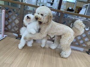ペットホテルでじゃれあう犬