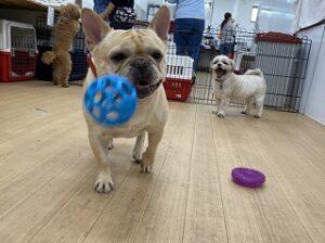 犬ちゃんボールを追いかける