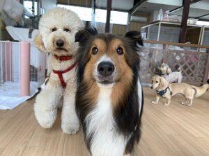 シェルティの犬ちゃん