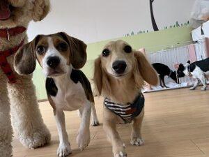 ペットホテルで仲良く遊ぶ犬達