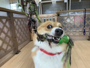 綱引き遊びする犬ちゃん