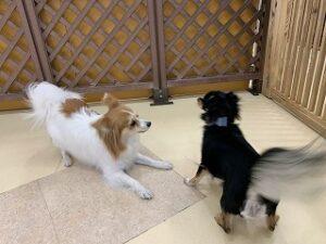 犬ちゃん同士でお遊び