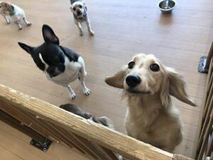 ペットホテルスタッフを見上げる犬ちゃん