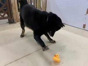 犬ちゃんとアヒルのおもちゃ
