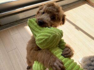 犬ちゃんおもちゃで遊ぶ