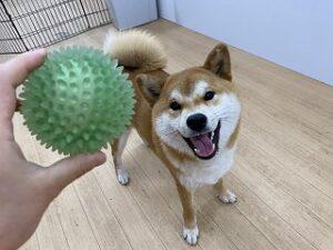 ボールで遊ぶ柴犬君