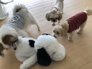 ペットホテルのぬいぐるみで遊ぶ犬達