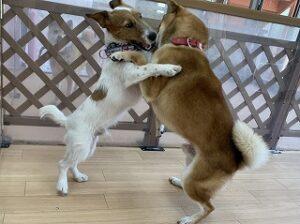 犬ちゃんのお相撲その2