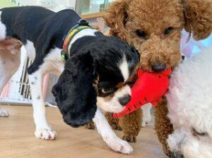 おもちゃで遊ぶ犬ちゃん。